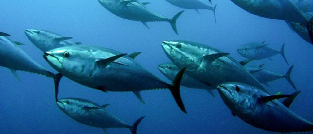Blackfin tuna fishing charters in cape coral florida for Tuna fishing florida